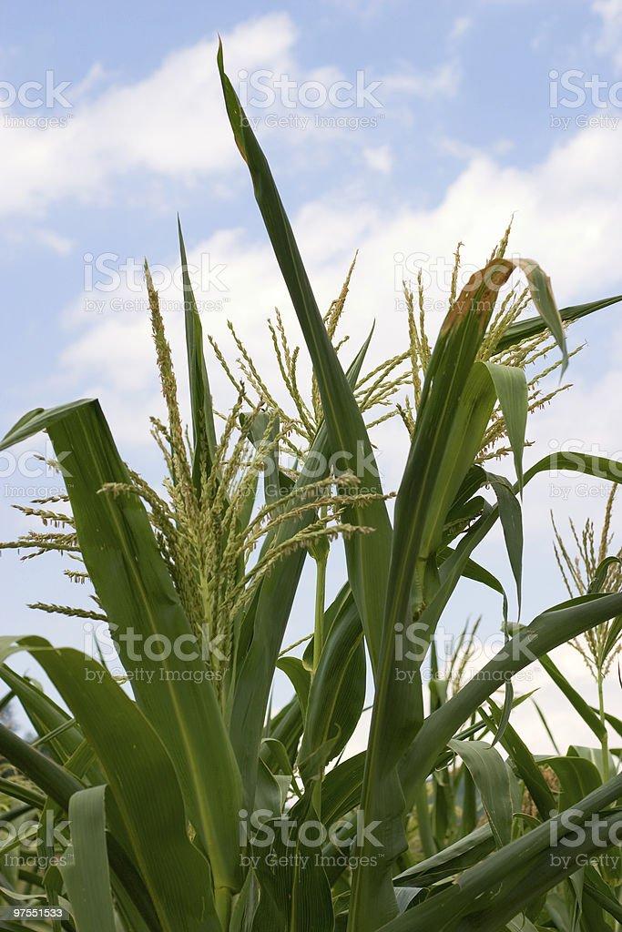 Corn plant royalty-free stock photo