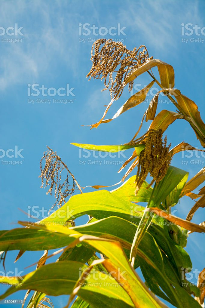 Corn plant with blue sky stock photo