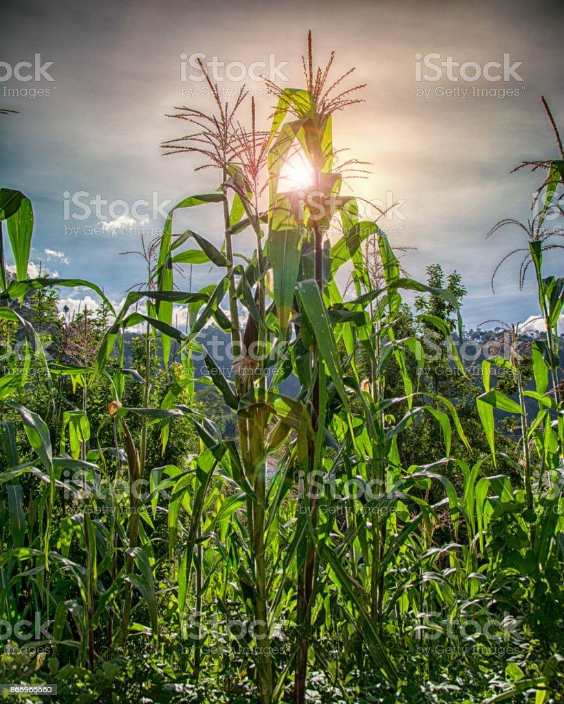Corn plants at sunset stock photo