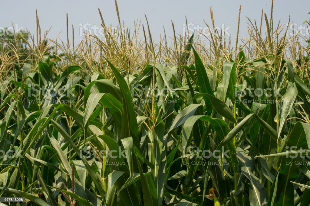 Corn Plants In The Field royalty-free stock photo