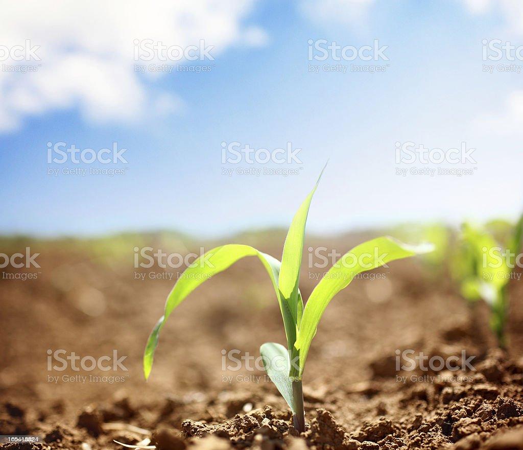 Corn plants. royalty-free stock photo