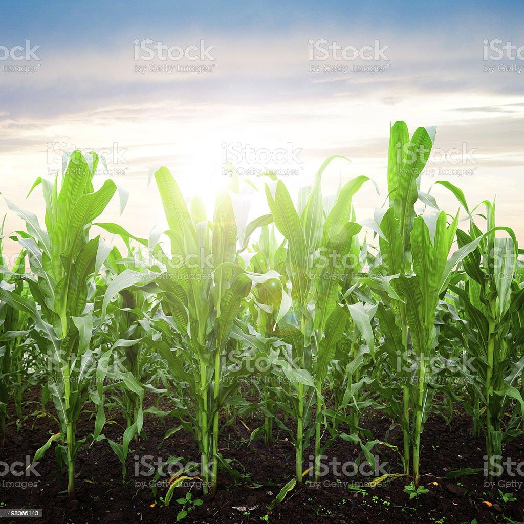 Corn Plants stock photo