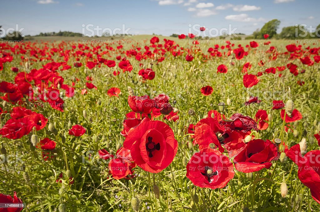 Corn poppies in a field royalty-free stock photo