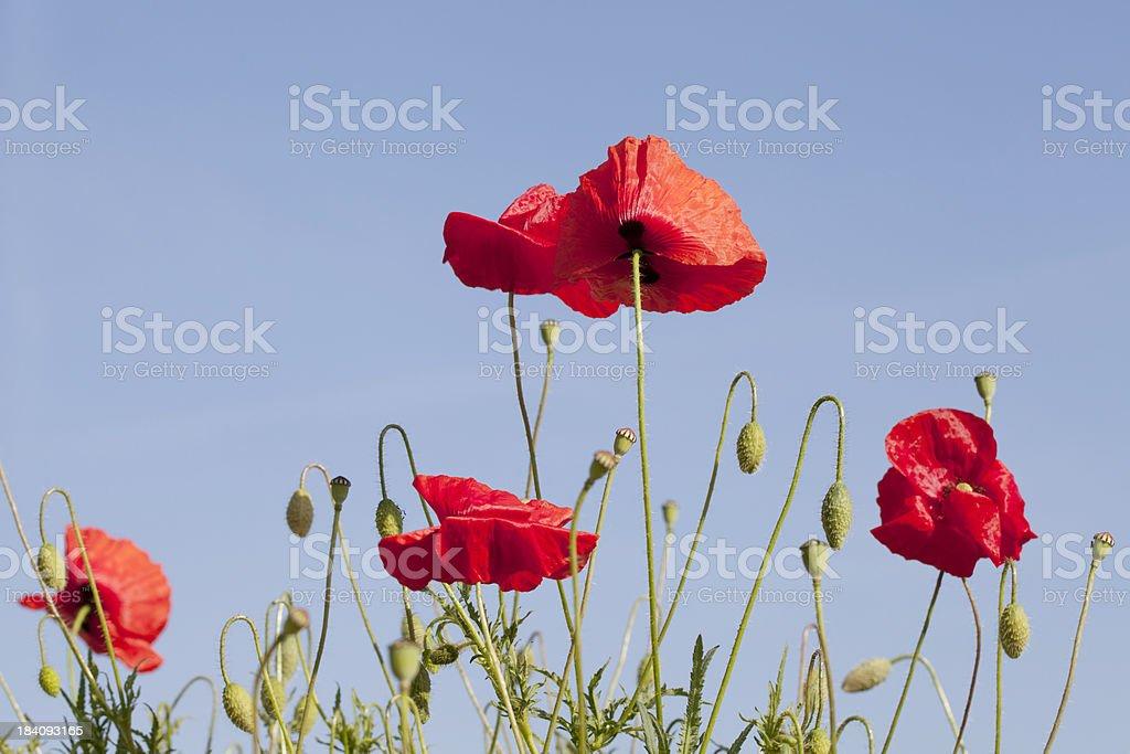 Corn Poppy (Papaver rhoeas) against Blue Sky royalty-free stock photo