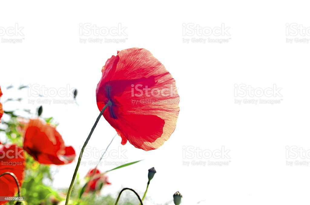 corn poppy against the sun royalty-free stock photo