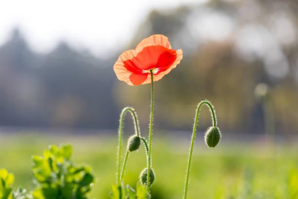 Mais Mohn Blume in Blüte – Foto