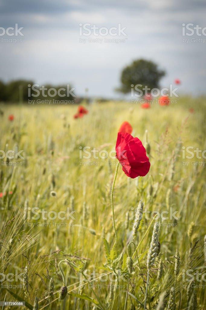 Klatschmohn in einem Weizenfeld. – Foto