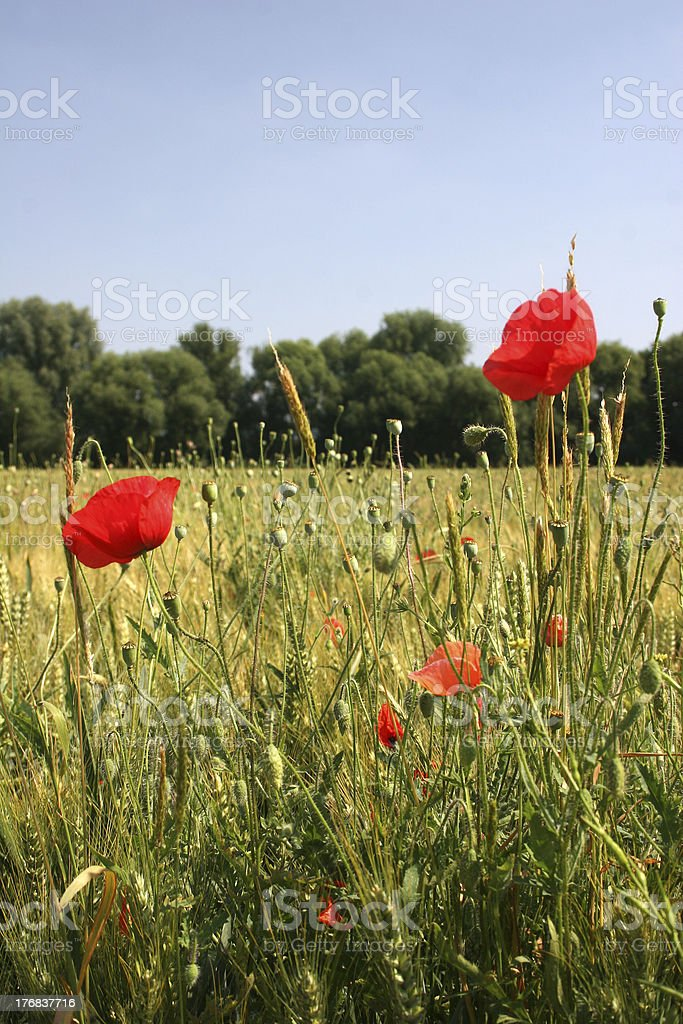 Corn poppy in front of a barley field royalty-free stock photo