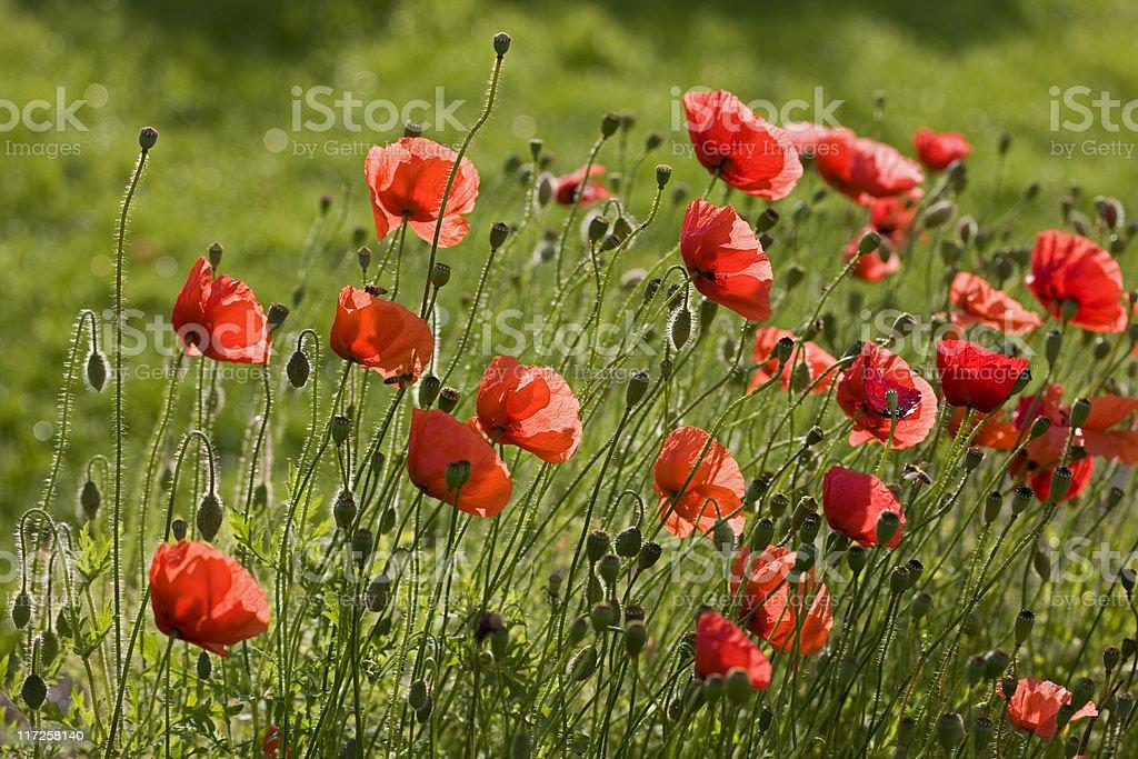 Corn Poppy (Papaver rhoeas) stock photo