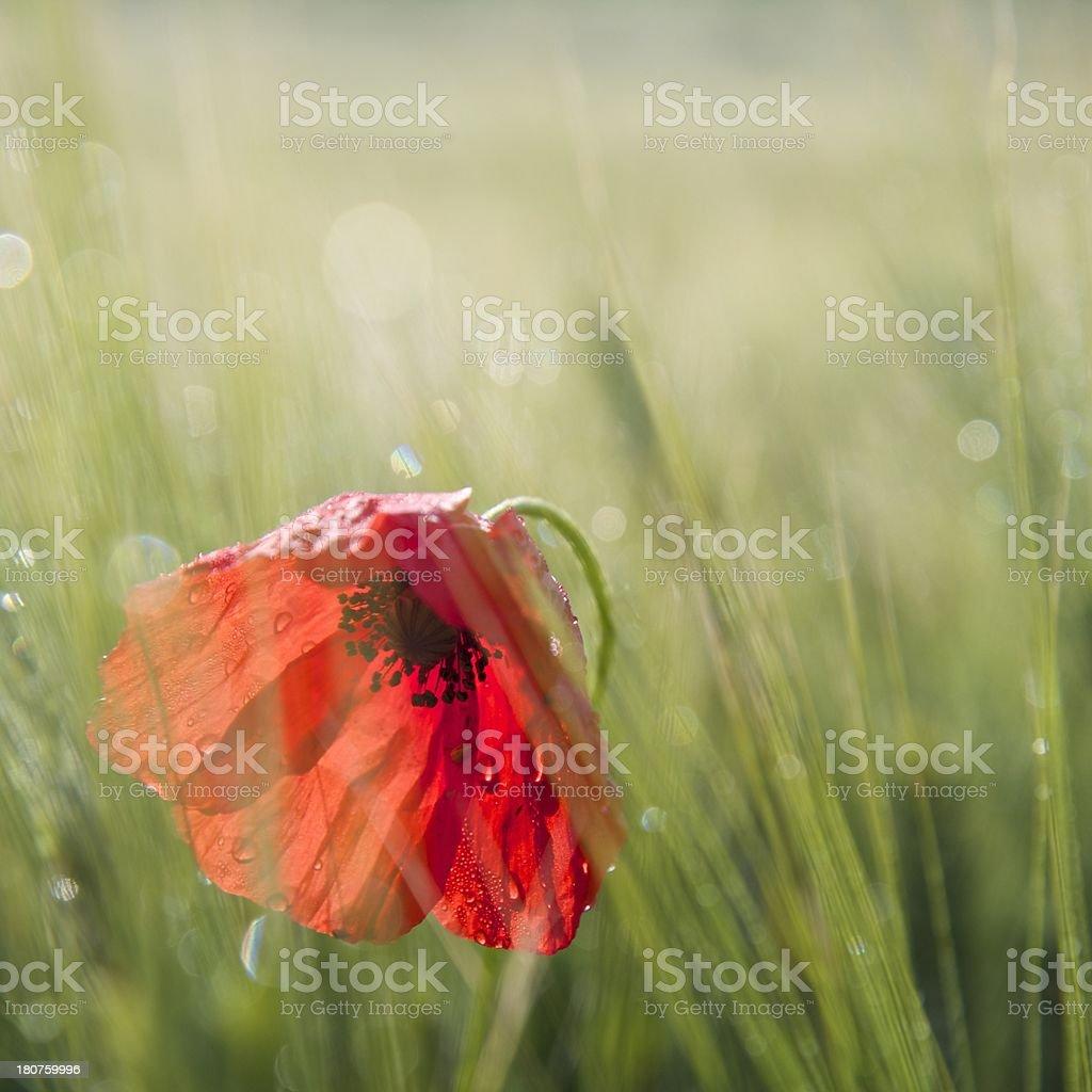Corn Poppy - Tuscany stock photo