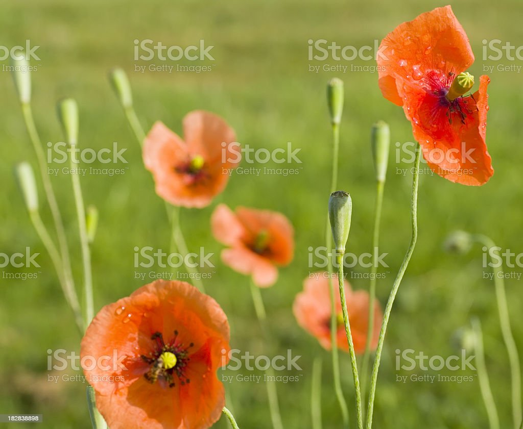 Corn Poppy (Papaver rhoeas) with Raindrops royalty-free stock photo