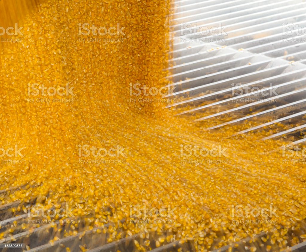 Corn pours out of truck trailer into underground storage stock photo