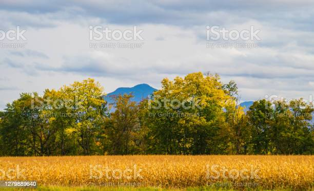 Photo of corn ready to harvest