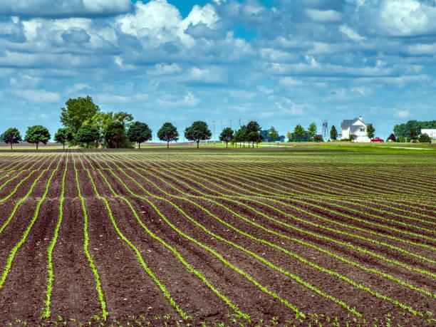 Corn (maize) rows in springtime