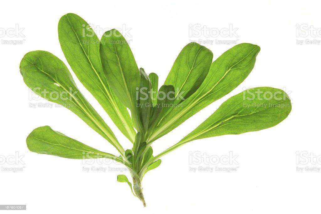 Corn salad (Valeria locusta) royalty-free stock photo