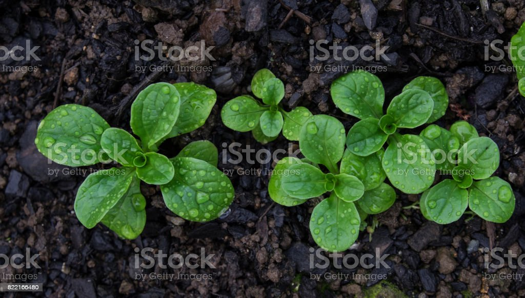 Corn salad with raindrops growing in soil stock photo