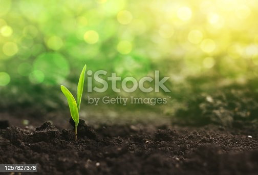 Corn seedlings are growing from fertile ground