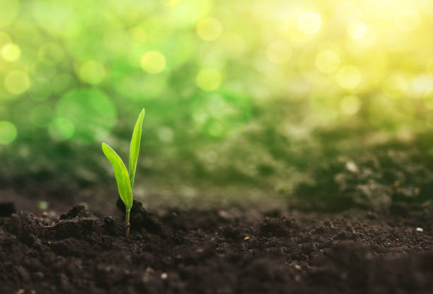 Corn seedlings are growing from fertile ground at sunlight bokeh. stock photo