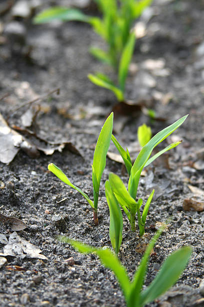 Corn Seedlings Emerging from Earth stock photo