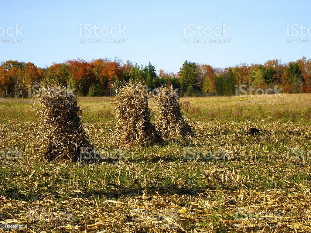 Corn Sheaves in Autumn stock photo