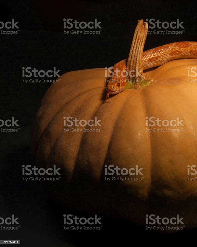 Corn Snake and Moschata Pumpkin stock photo