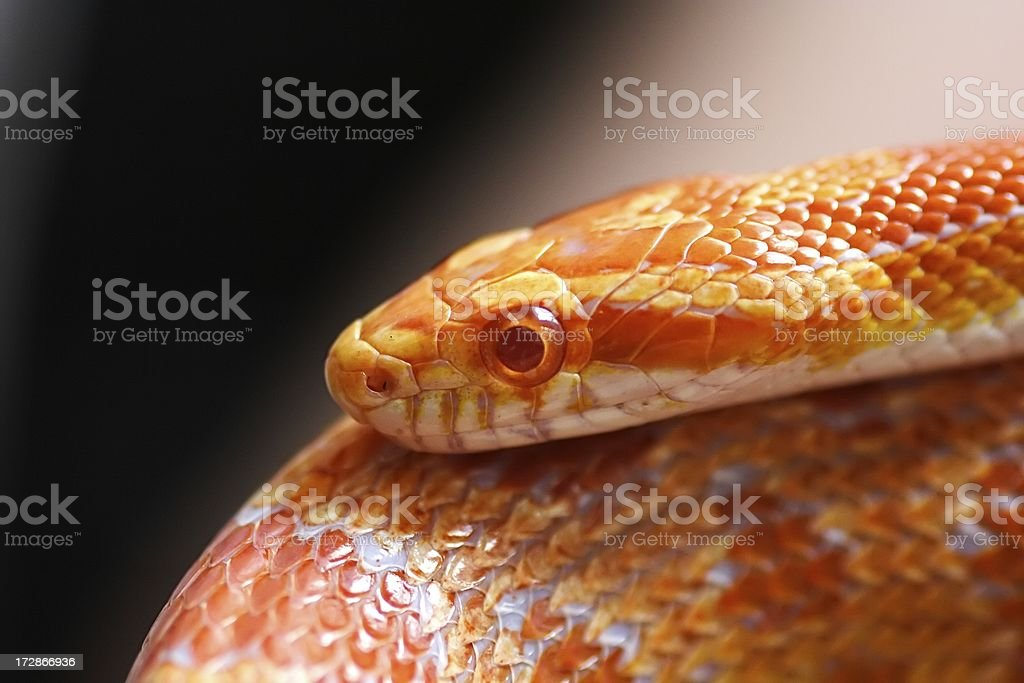 Corn Snake close up stock photo