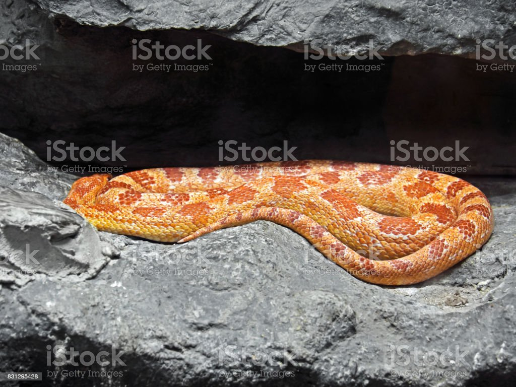 Corn Snake Coiled in The Cave stock photo