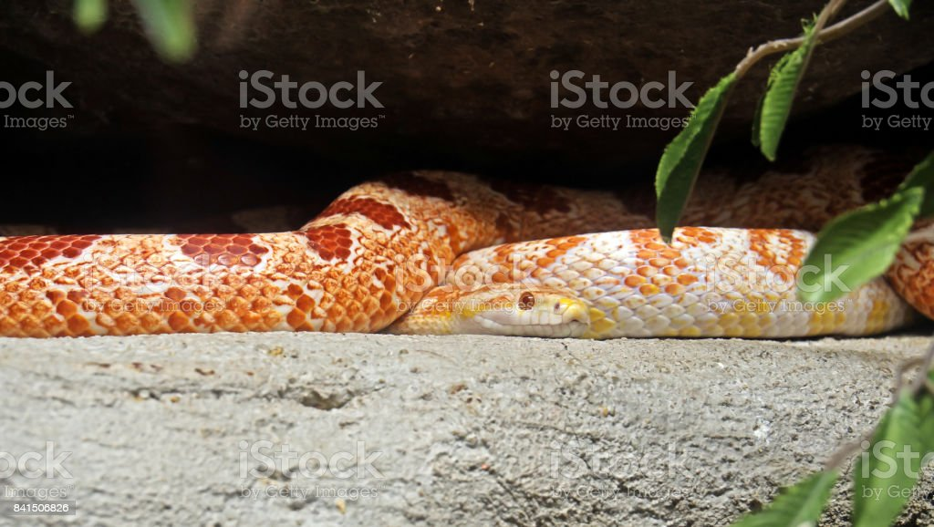 Corn Snake Coiled on Nature Background stock photo