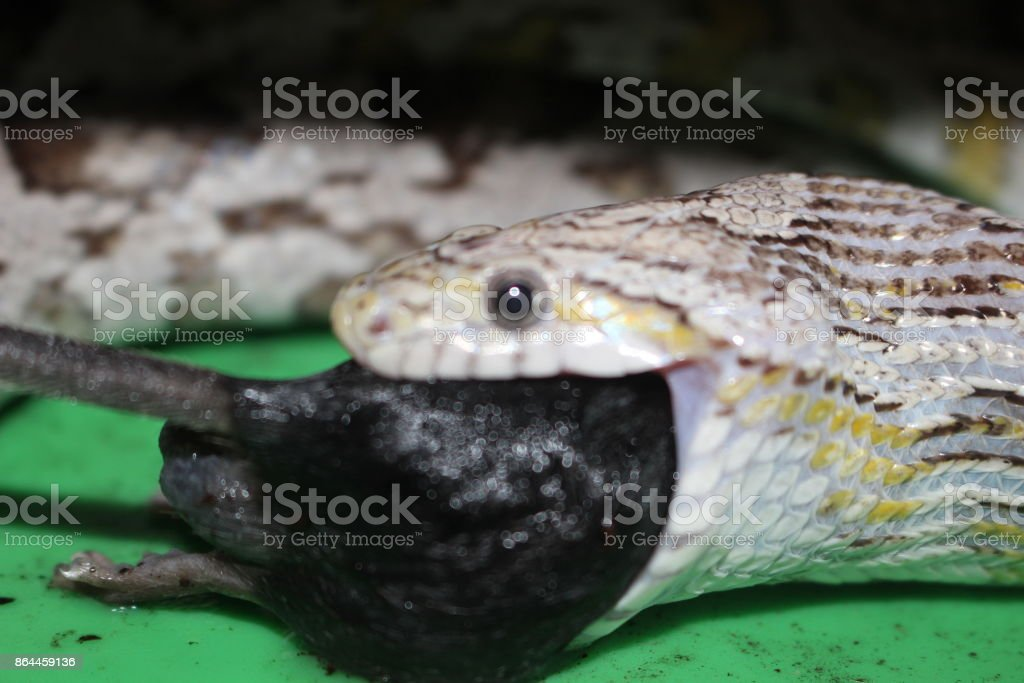 Corn snake eats eat stock photo