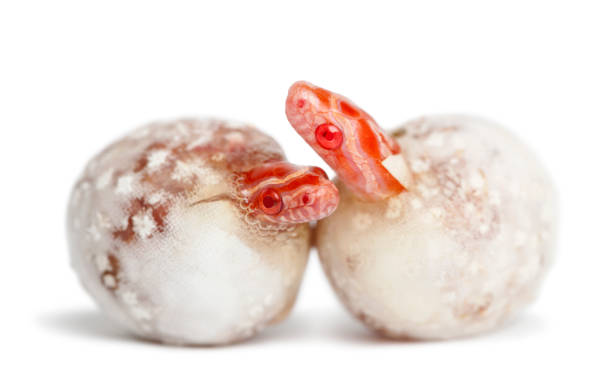 Corn snake hatching, Pantherophis guttatus guttatus, also know as red rat snake against white background - foto stock