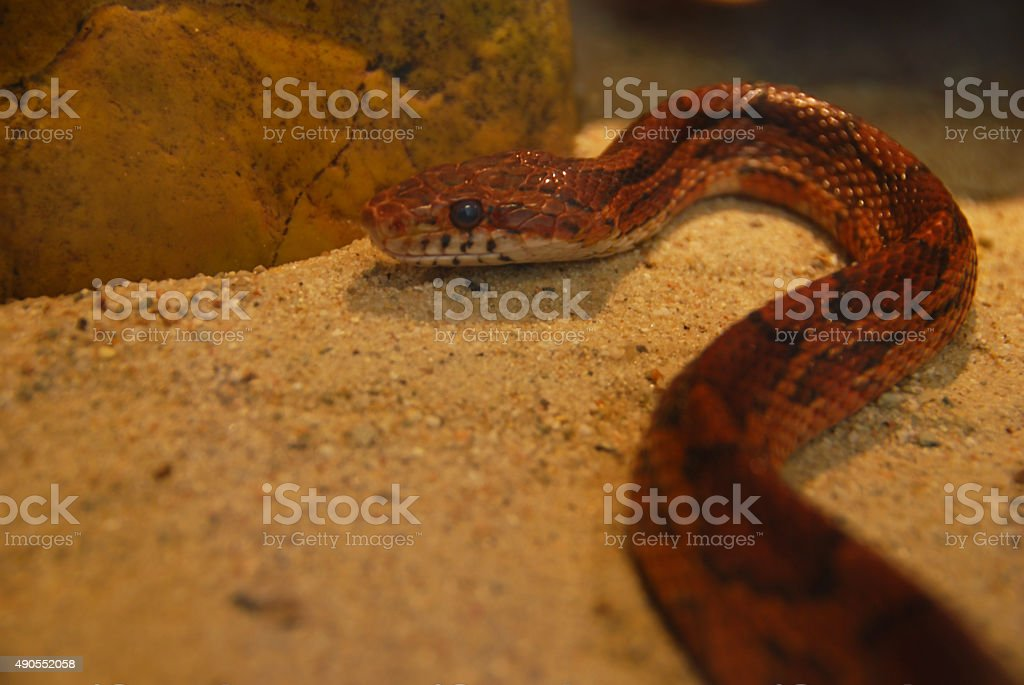 Corn snake inside of a Terrarium stock photo