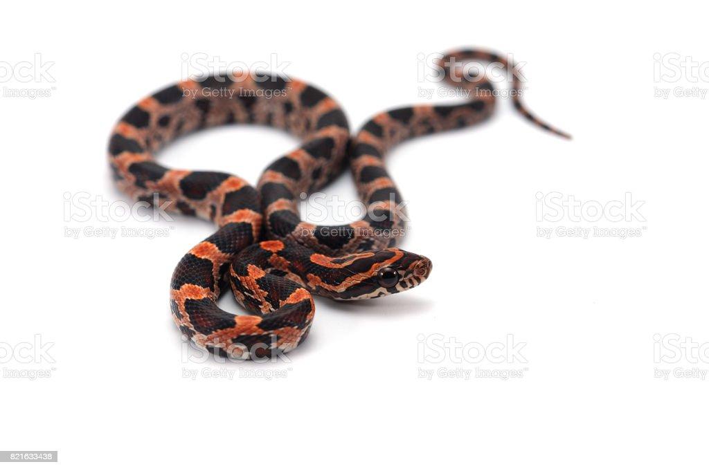 Corn snake isolated on white background stock photo