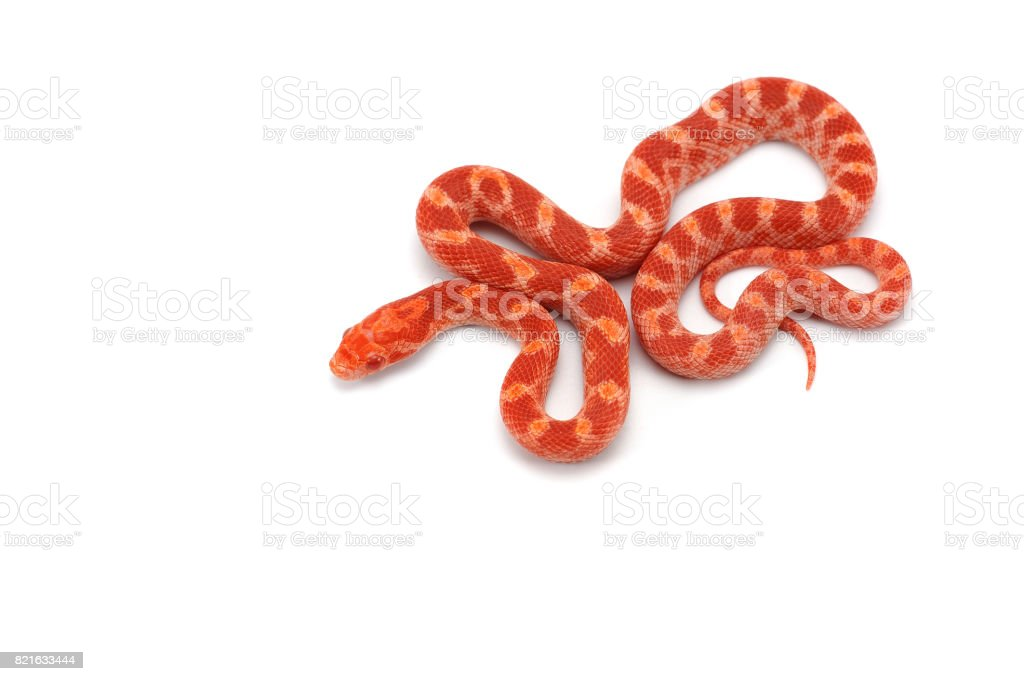 Corn snake isolated on white background stock photo