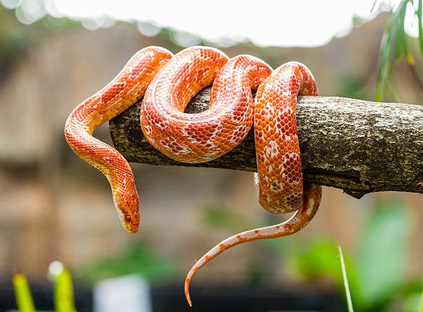 Corn snake on a branch stock photo