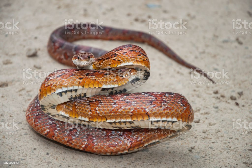 Corn Snake On A Road In Florida Stock Photo & More Pictures of ...