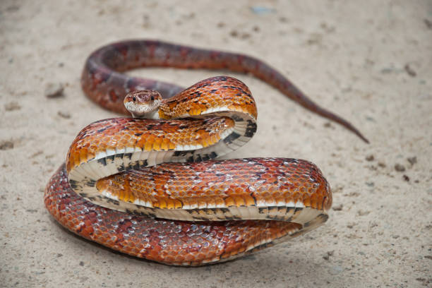 corn snake on a road in florida. - snake strike stock photos and pictures