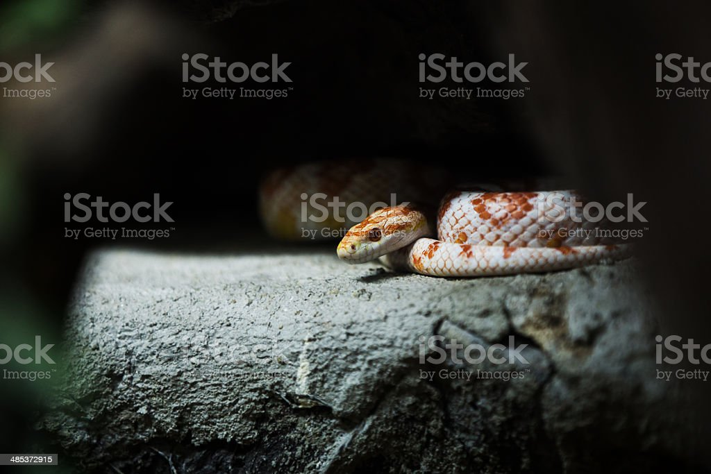 corn snake on a rock. stock photo