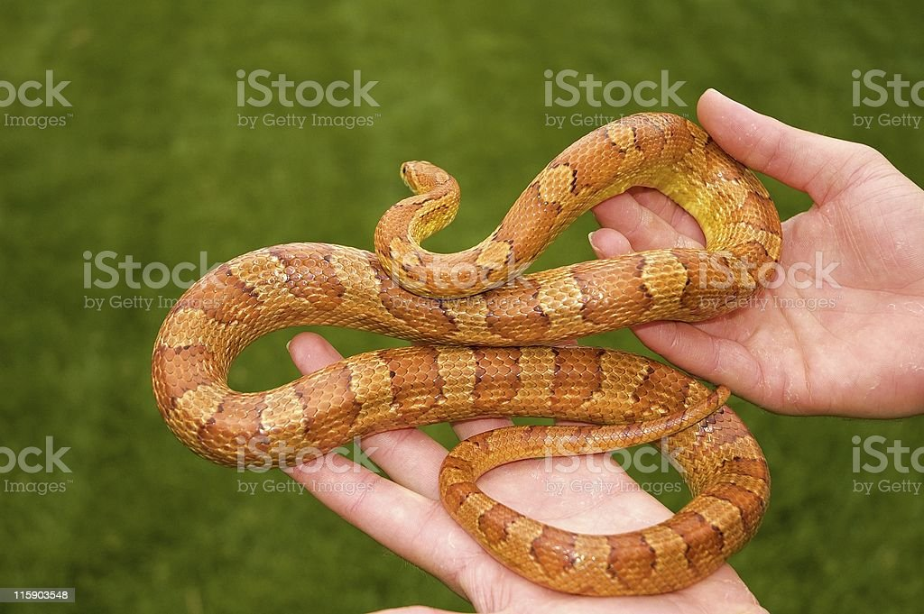 Corn Snake royalty-free stock photo