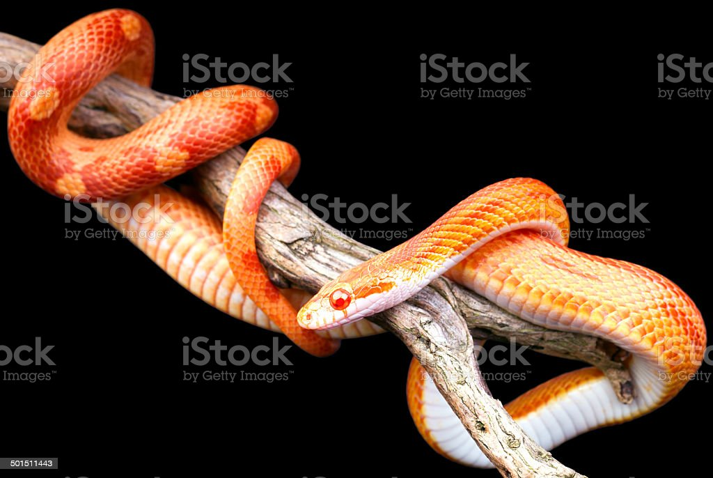 Corn snake stock photo