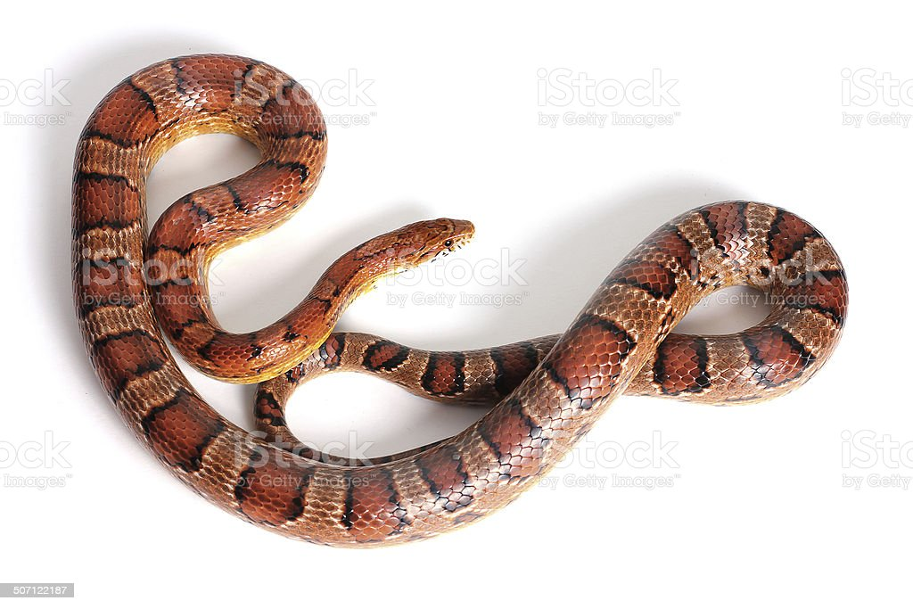 Corn Snake Stock Photo & More Pictures of Animal | iStock