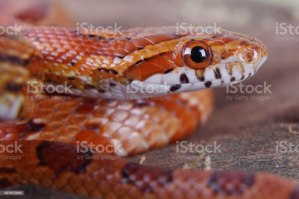 corn snake stock photo