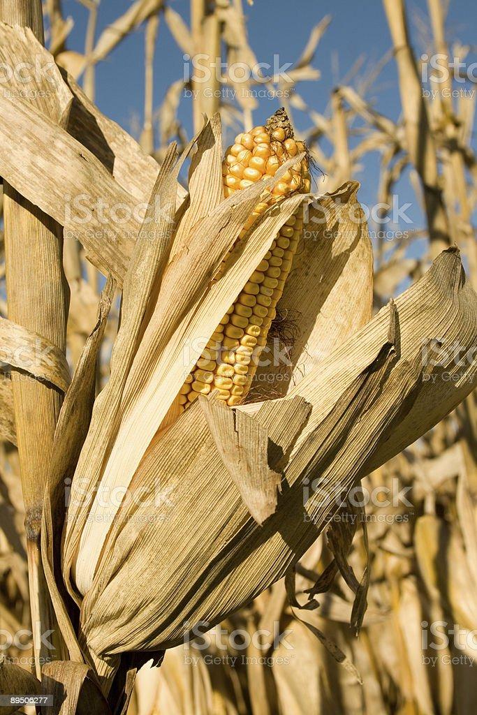 Corn stalk in a farm field royalty-free stock photo