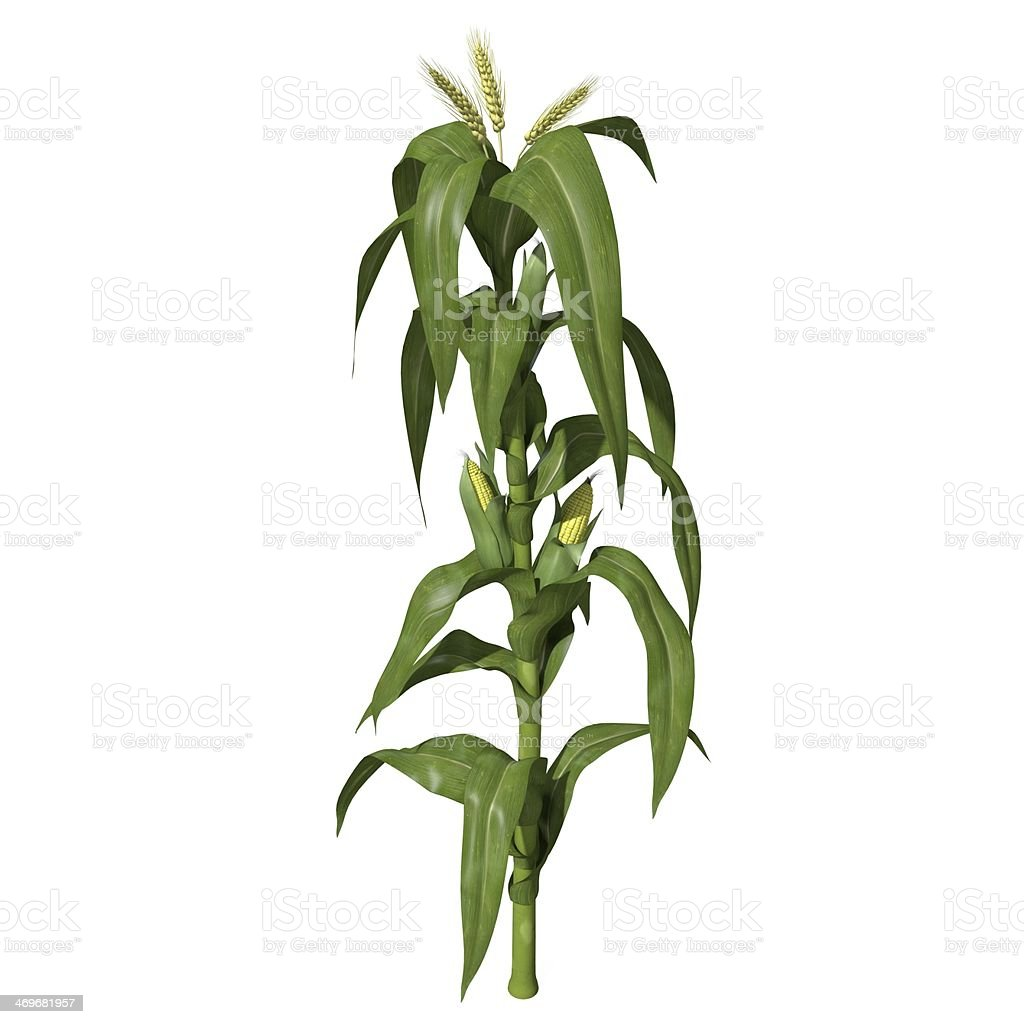 Corn Stalk stock photo