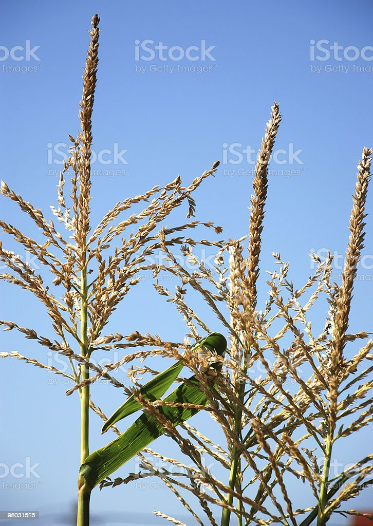 corn stalks and flowers royalty-free stock photo