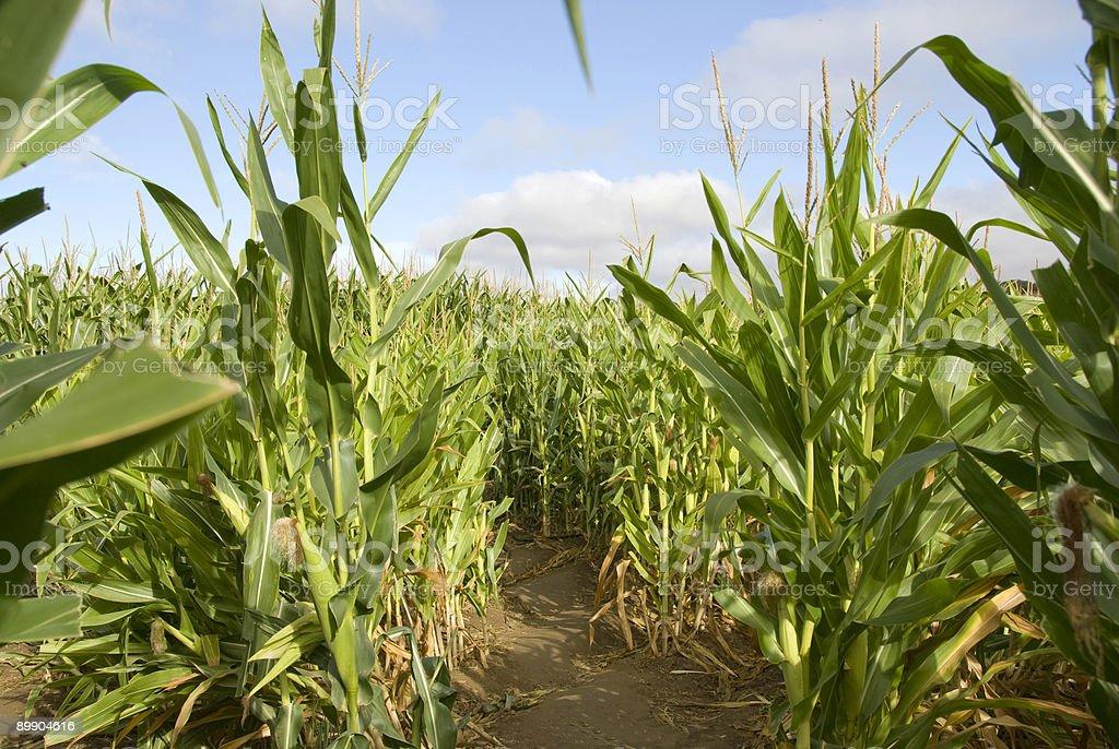 Corn Stängel in einem Labyrinth unter blauen Himmel Lizenzfreies stock-foto