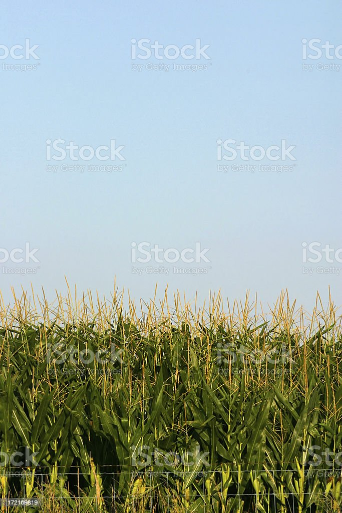 Corn Stalks royalty-free stock photo