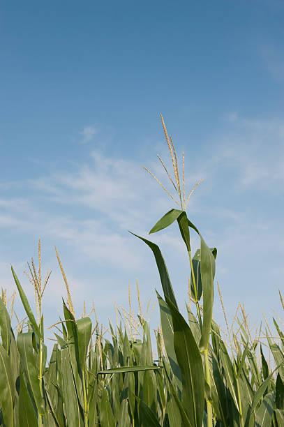 Corn stem stock photo