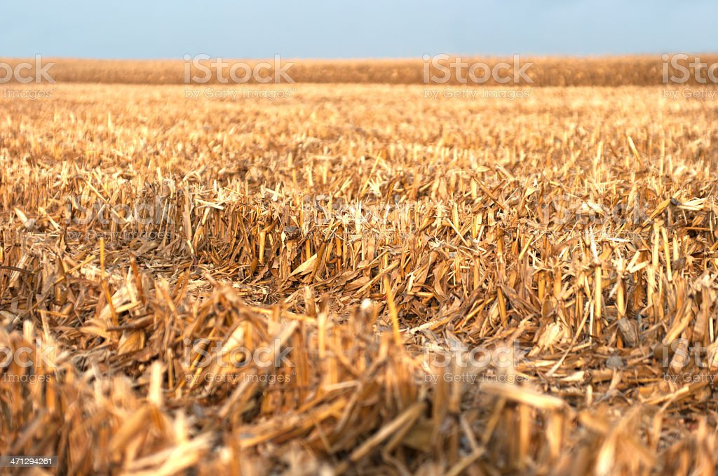 Corn Stubble at Harvest Time stock photo