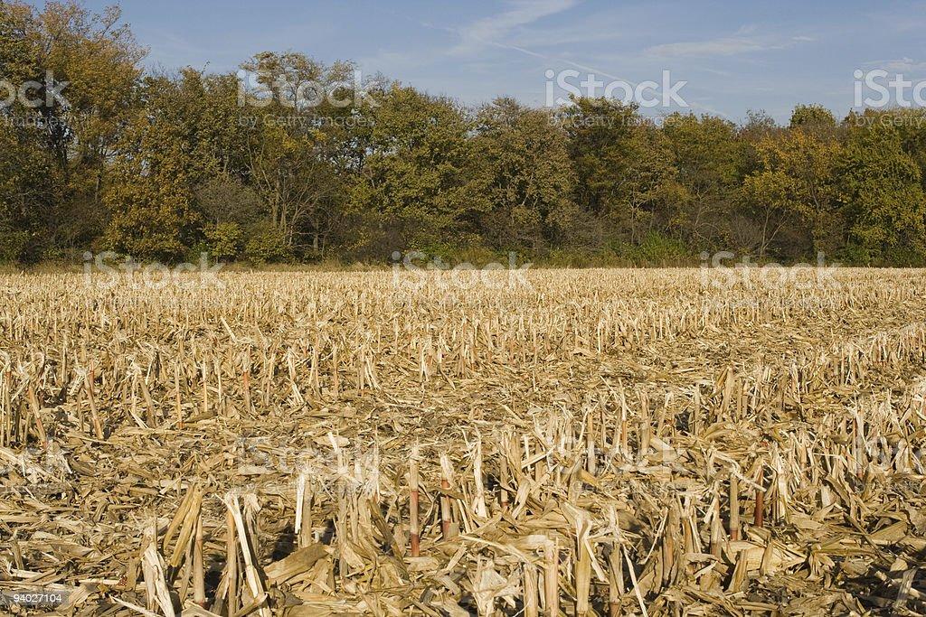 Corn stubble - freshly harvested field stock photo