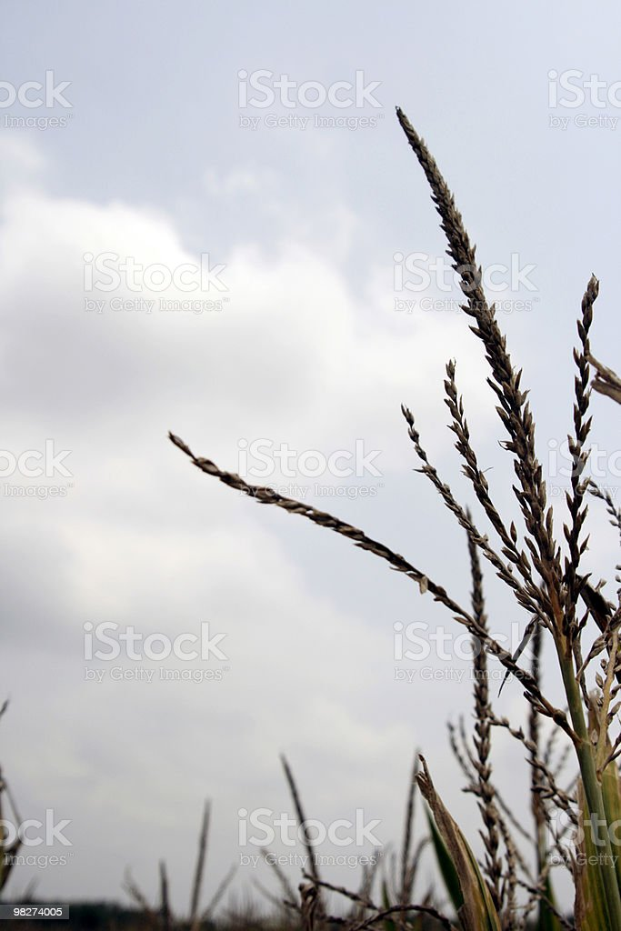 corn tops royalty-free stock photo